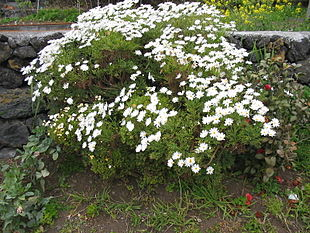 310px-Argyranthemum_frutescens_Habitus1.jpg